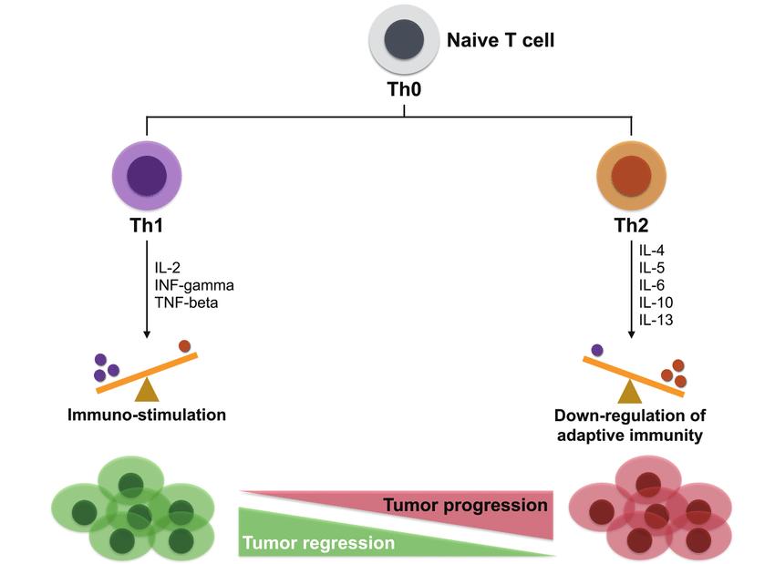 Имбирь активирует иммунные клетки Th1 типа
