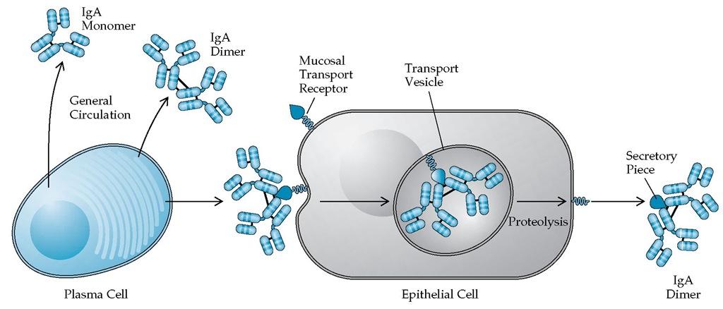 Иммуноглобулин IgA