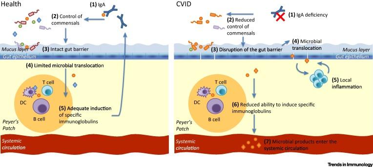 Иммунный дефицит и кишечная микрофлора