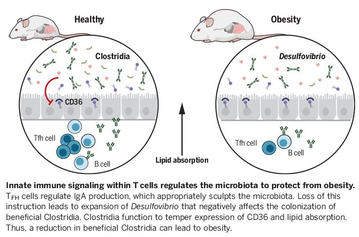 Иммуноглобулин IgA и микрофлора кишечника