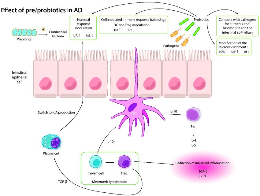 Механизм действия пробиотиков и пребиотиков