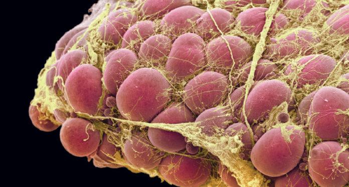Жировые клетки под микроскопом