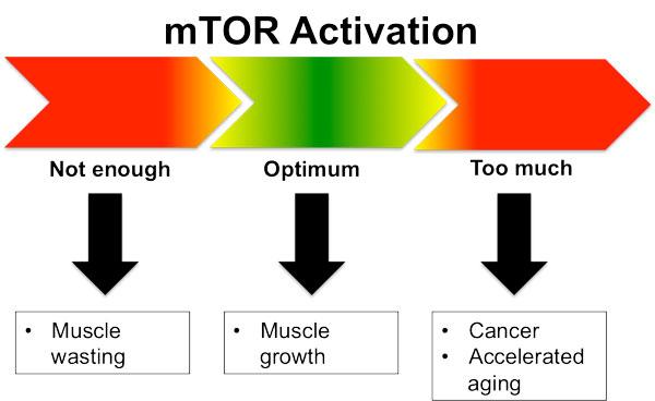 Сигнальный путь mTOR должен быть в нормальном состоянии