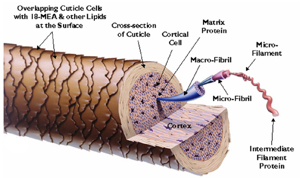 Структура волоса человека