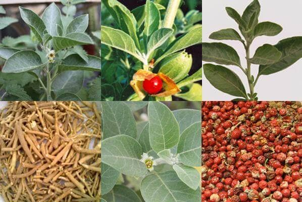 Растение Ашвагандха