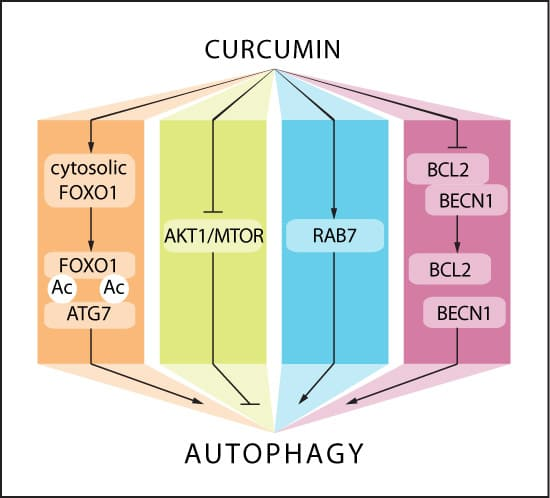 Куркумин способствует аутофагии.