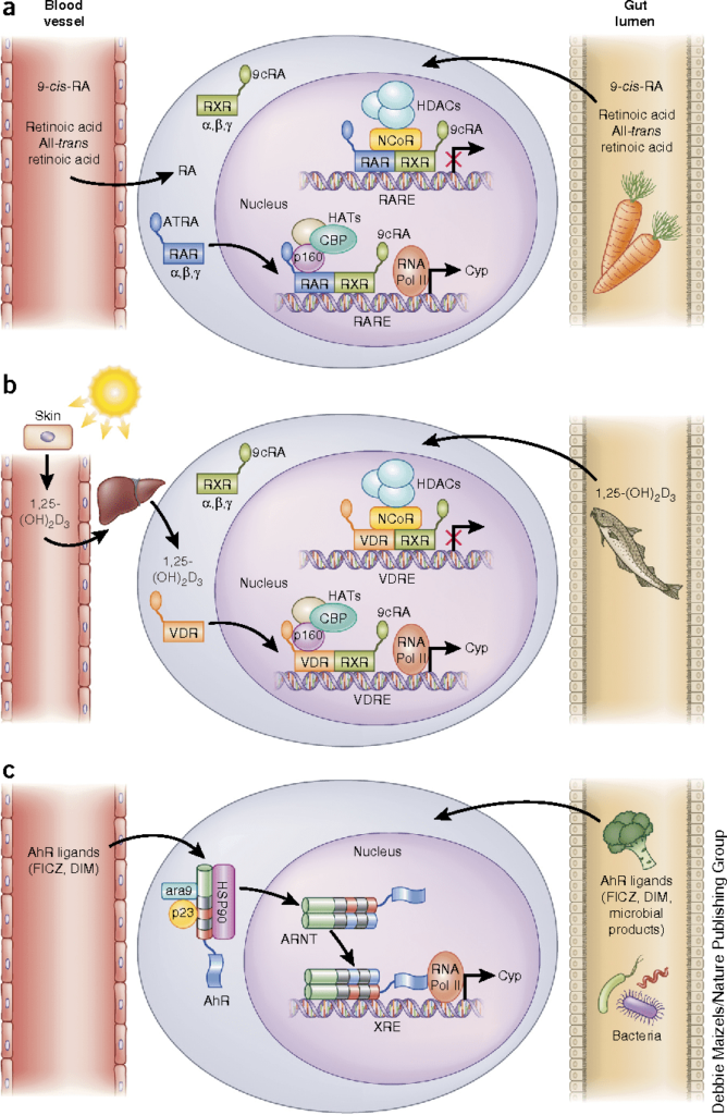 Витамин А и Д, а также флавоноиды крестоцветных овощей оказывают влияние на лимфоциты