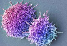 Т-лимфоциты из крови человека