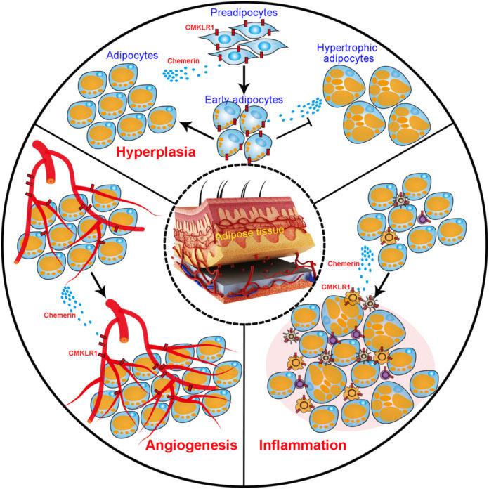 Альфа-липоевая кислота подавляет белок - чемерин (chemerin)
