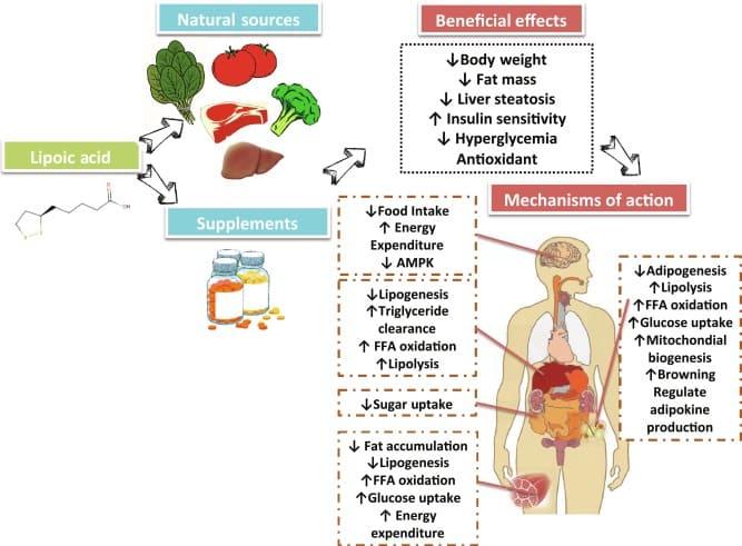Действие альфа-липоевой кислоты на организм