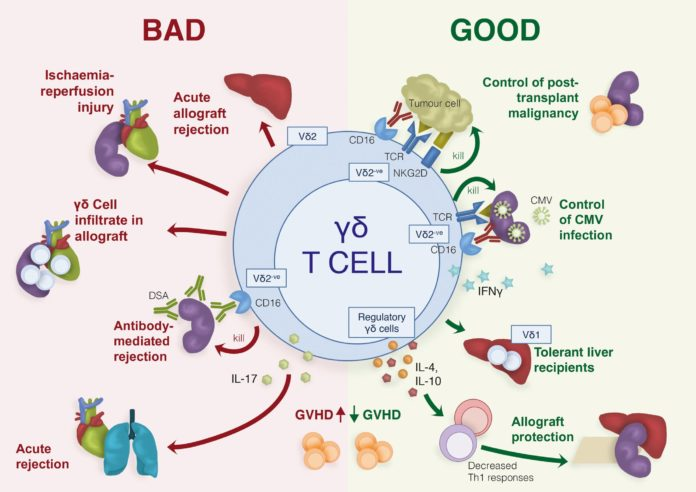 Иммунные γδ Т-клетки могут быть как полезными, так и вредными для здоровья
