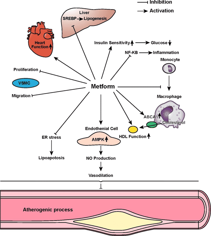 Метформин имеет широкое влияние на организм