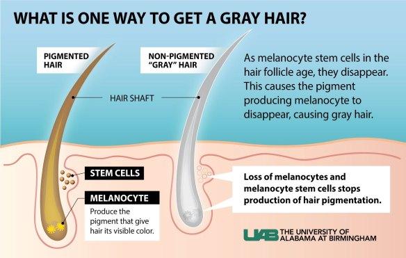 Стволовые клетки ответственны за развитие седины волос