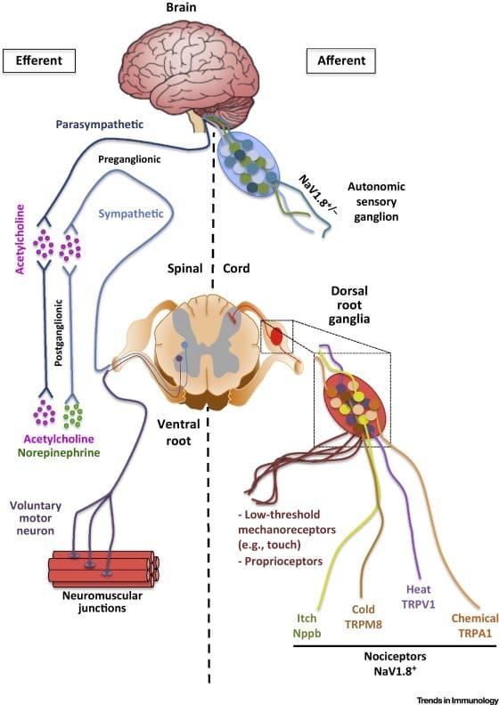 Периферическая нервная система оказывает влияние на седину волос