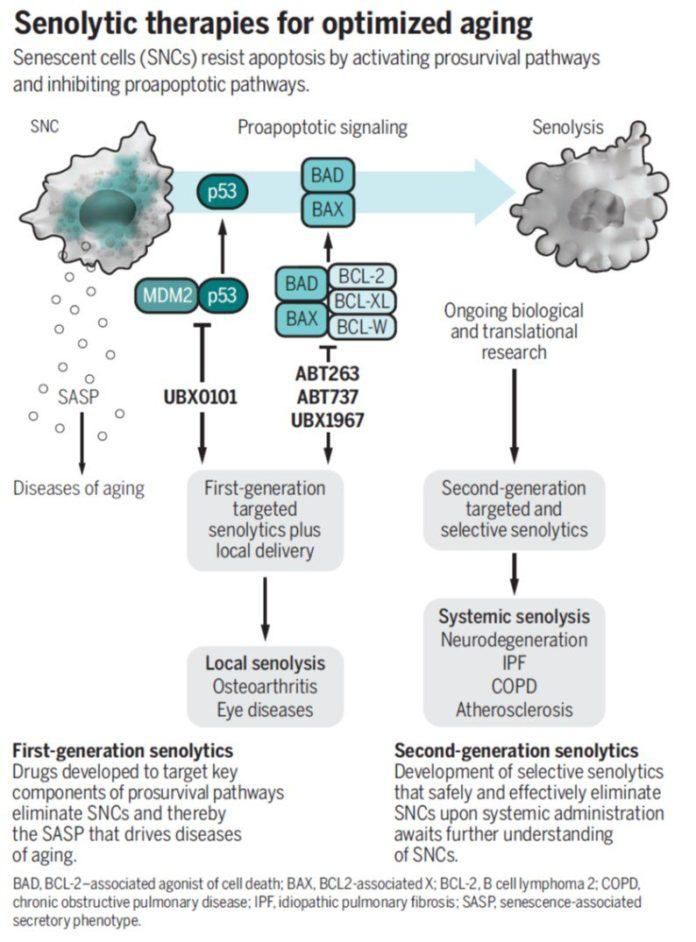 Дествие сенолитиков на стареющие клетки