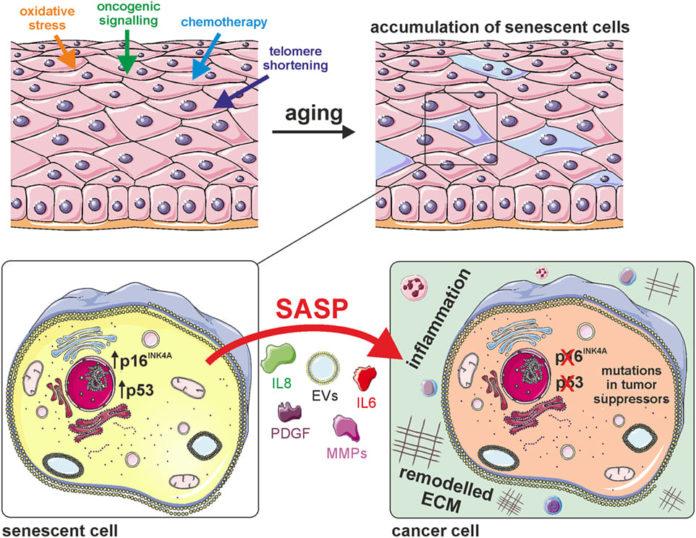 Негативное влияние стареющих клеток на здоровье