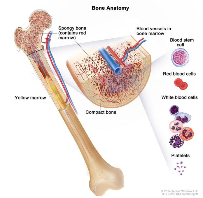 Лейкоциты вырабатываются в костном мозге