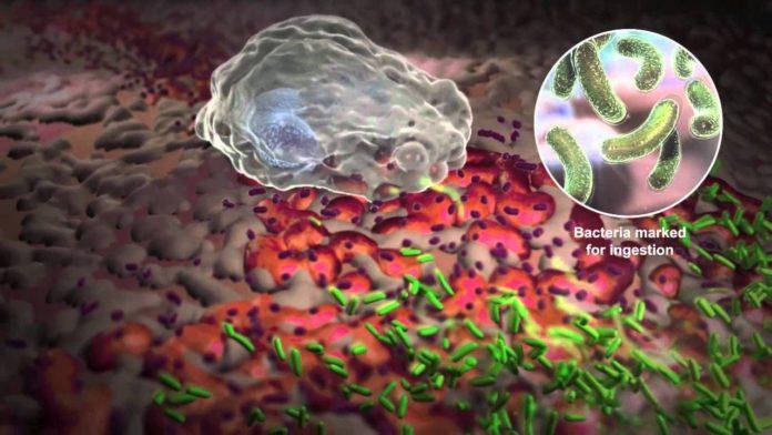Лейкоциты ведут борьбу против бактерий