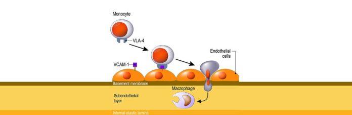 Миграция лимфоцитов к местам воспаления