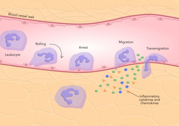 Привлечение лейкоцитов в места воспаления