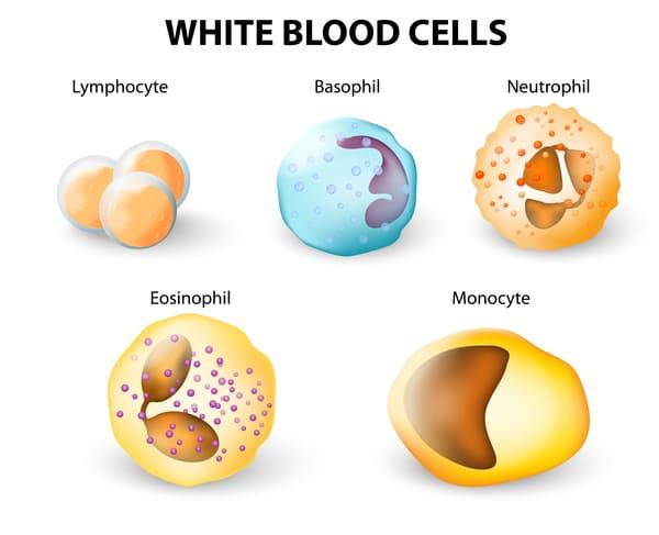 Типы лейкоцитов