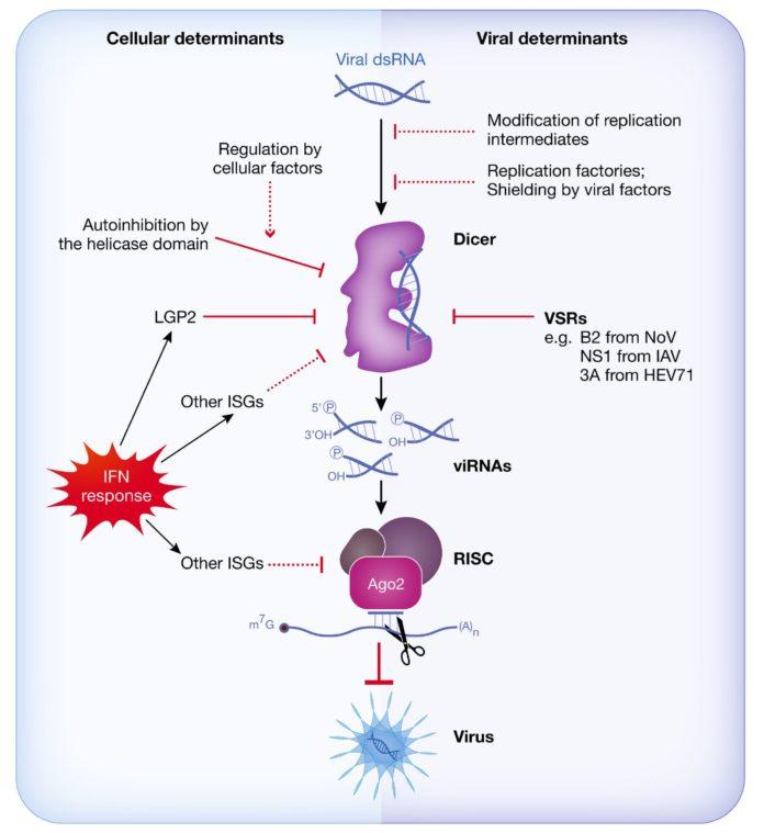 Противовирусная защита клетки