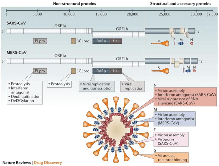 Строение и геном коронавирусов