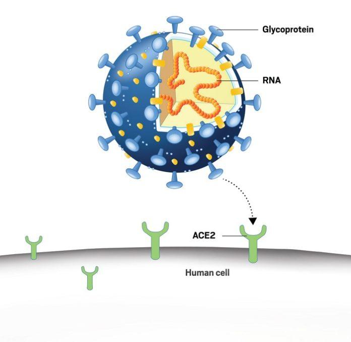 Коронавирус для заражения клетки использует рецептор ACE2