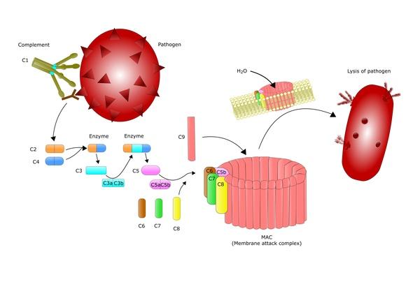 Маннозо-связывающий лектин способен подавлять коронавирус