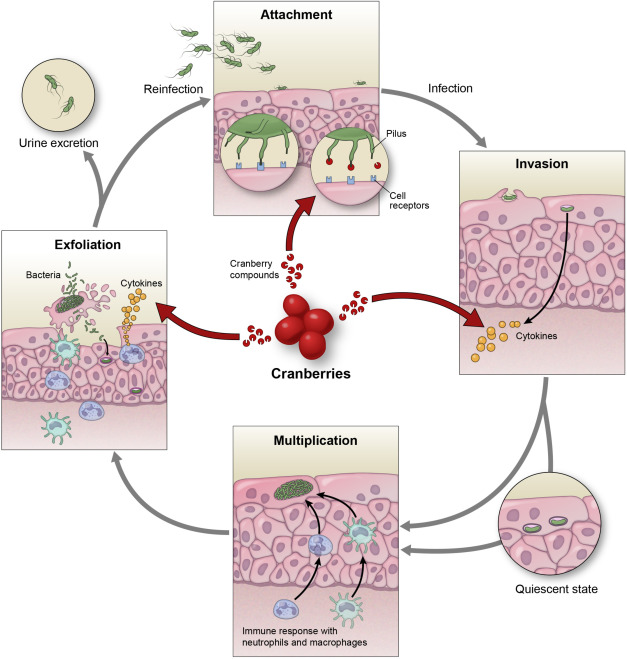 Клюква подавляет микробную активность