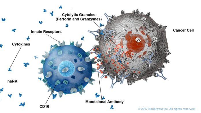 Иммунные NK-клетки борются с раковыми клетками