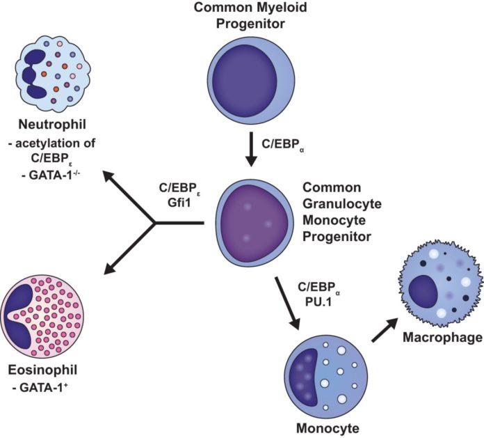 Нейтрофилы формируются из миелоидных клеток