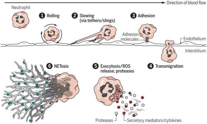 Действие нейтрофилов при инфекции