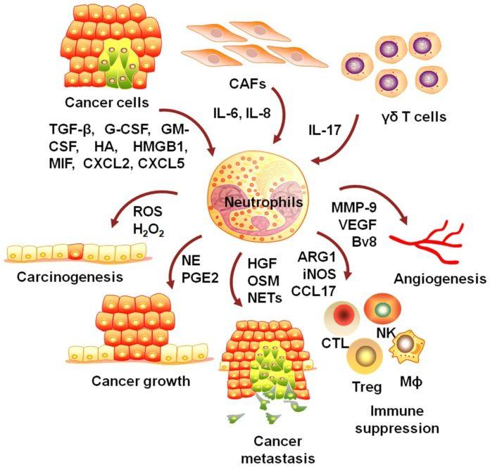Нейтрофилы связаны с ростом и распространением опухоли.