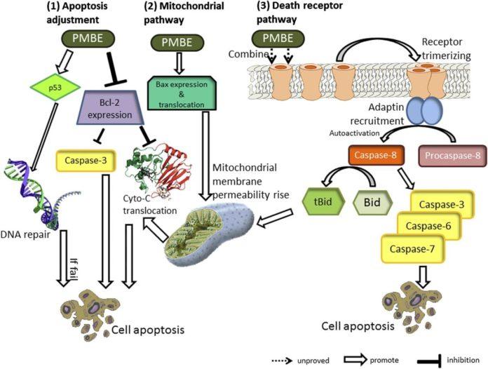 Пикногенол против раковых клеток