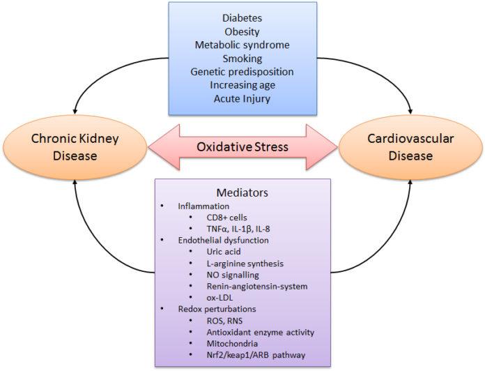 Окислительный стресс объединяет болезни почек и сердца
