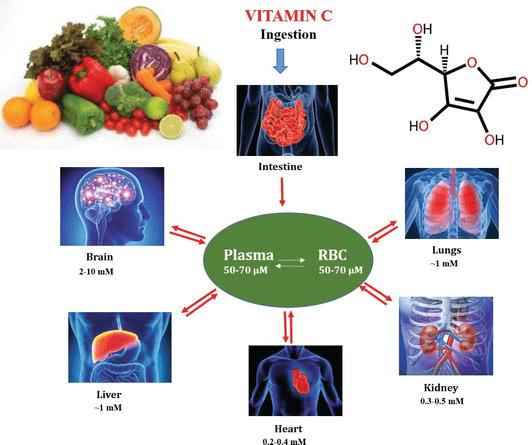 Витамин С в органах тела