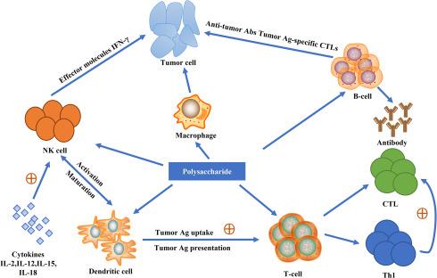 Астрагал оказывает влияние на иммунитет