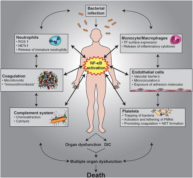 Чага уменьшает активность воспалительного пути NF-kB