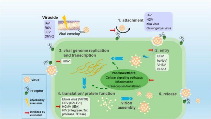 КУркумин может подавлять различные вирусы