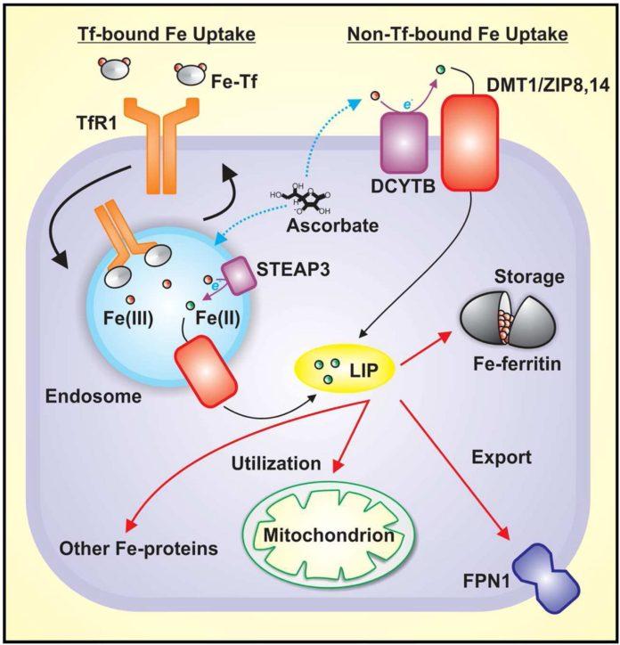 Пути поглощения железа клетками с участием ферритина