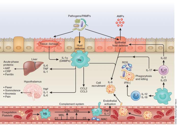 Ферритин участвует в схеме воспаления