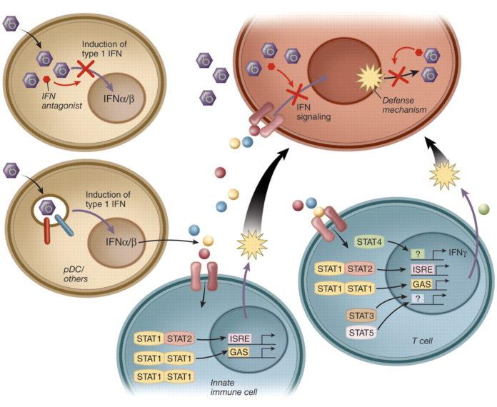 Схема действия интерферона против вирусов