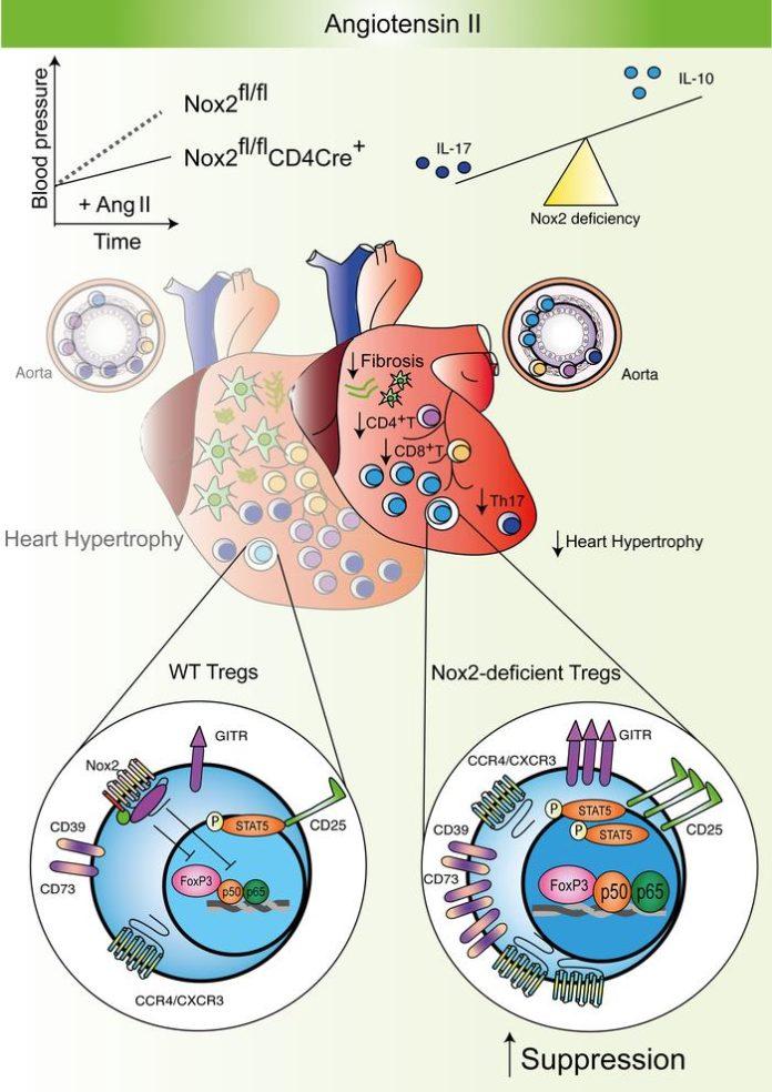 Уменьшение NOX2 помогает снизить риски осложнений при вирусной инфекции