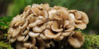 Майтаке гриб способен повышать активность иммунитета
