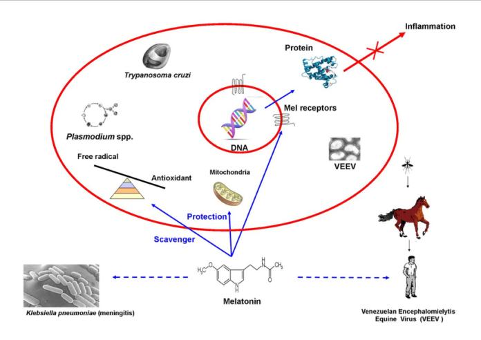 Мелатонин против инфекций