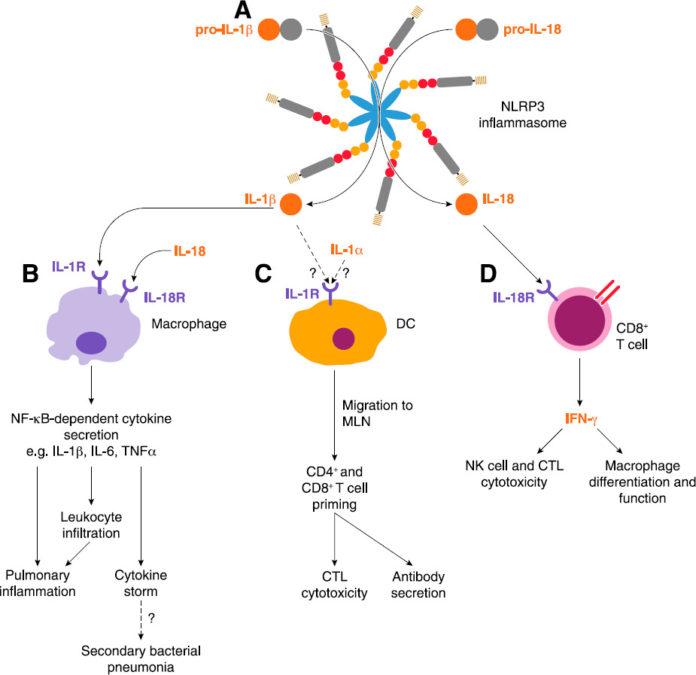 NLRP3 воспаление, вызванное инфламмасомами во время вирусной инфекции
