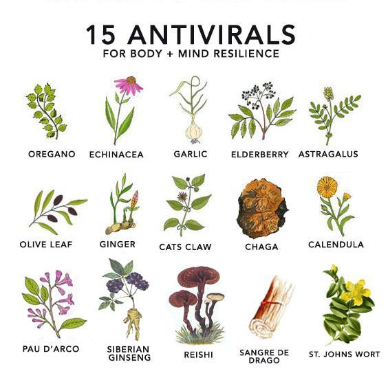 Растения с противовирусными свойствами