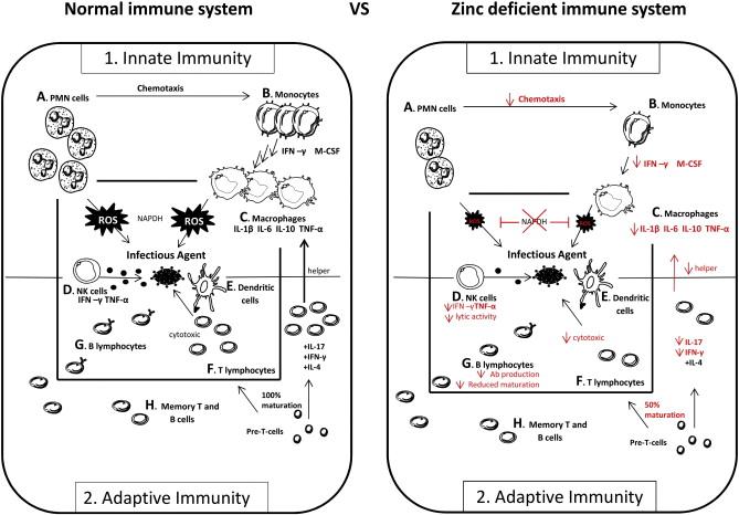 Цинк помогает в работе иммунной системы