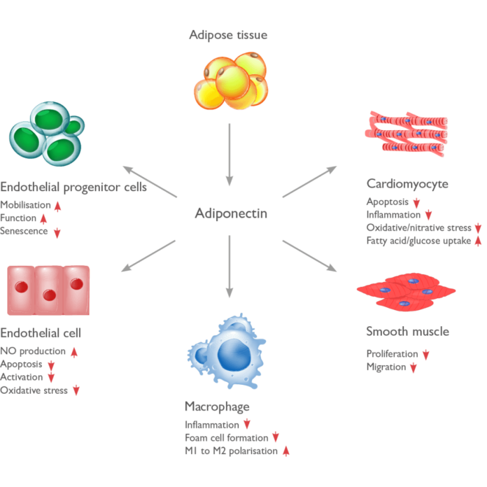 Влияние адипонектина на клетки нашего тела
